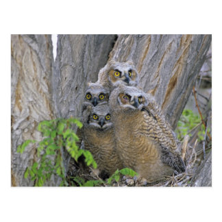 Great Horned Owlets (Bubo virginianus) nest in a Post Card