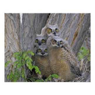 Great Horned Owlets (Bubo virginianus) nest in a Poster