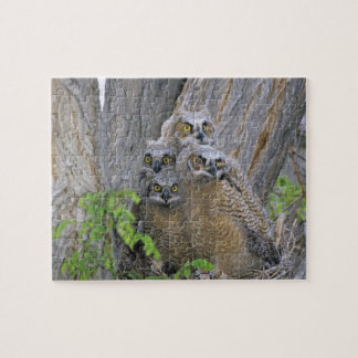 Great Horned Owlets (Bubo virginianus) nest in a Puzzles