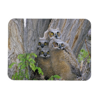 Great Horned Owlets (Bubo virginianus) nest in a Rectangular Photo Magnet