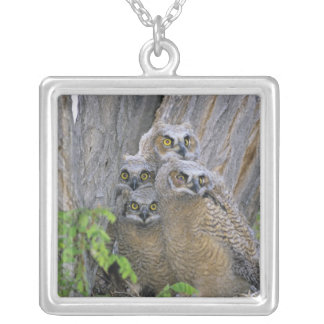 Great Horned Owlets (Bubo virginianus) nest in a Silver Plated Necklace