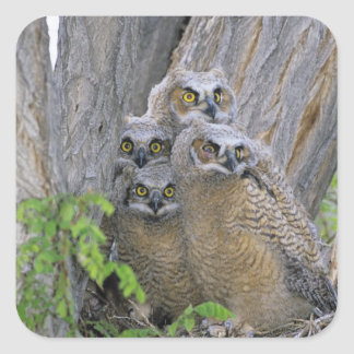 Great Horned Owlets (Bubo virginianus) nest in a Square Sticker