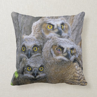 Great Horned Owlets (Bubo virginianus) nest in a Throw Pillow