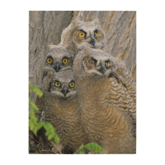Great Horned Owlets (Bubo virginianus) nest in a Wood Wall Art