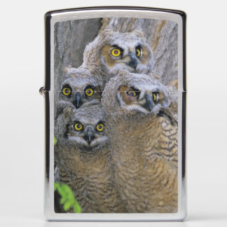 Great Horned Owlets (Bubo virginianus) nest in a Zippo Lighter