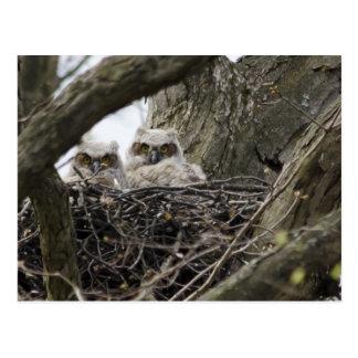 Great Horned Owls Postcard