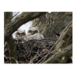 Great Horned Owls Postcards