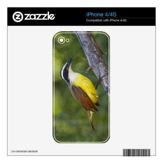 Great Kiskadee adult perched Skin For iPhone 4S