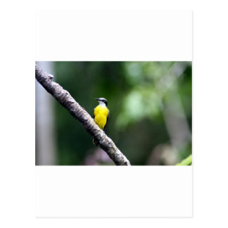 Great Kiskadee bird Amazon rain forest Postcard