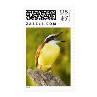 Great Kiskadee calling from perch Postage