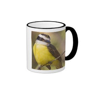 Great Kiskadee Pitangus sulphuratus) adult Coffee Mugs