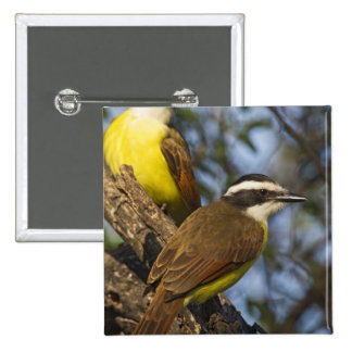 Great Kiskadee Pitangus sulphuratus) adults Button