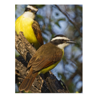 Great Kiskadee Pitangus sulphuratus) adults Post Cards