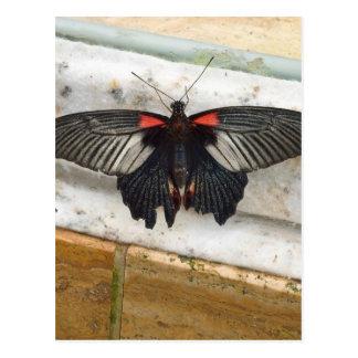 Great Mormon Butterfly Postcard