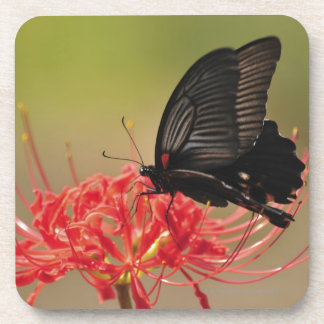 Great Mormon (Papilio memnon) on flower, Chiba Drink Coaster