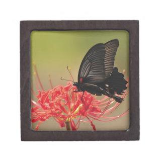 Great Mormon (Papilio memnon) on flower, Chiba Premium Trinket Box