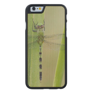 Great Pondhawk , Erythemis vesiculosa, adult Carved® Maple iPhone 6 Slim Case