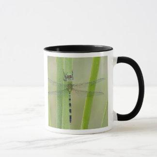 Great Pondhawk , Erythemis vesiculosa, adult Mug