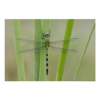 Great Pondhawk , Erythemis vesiculosa, adult Poster