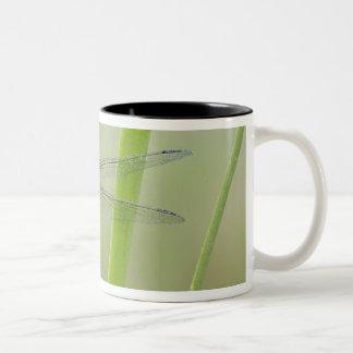 Great Pondhawk , Erythemis vesiculosa, adult Two-Tone Coffee Mug