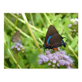 Great Purple Hairstreak butterfly Postcard