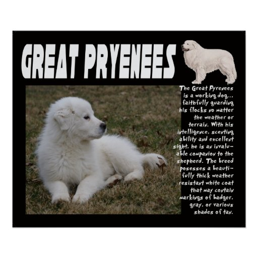 GREAT PYRENEES BREED CHARACTERISTICS POSTER | Zazzle