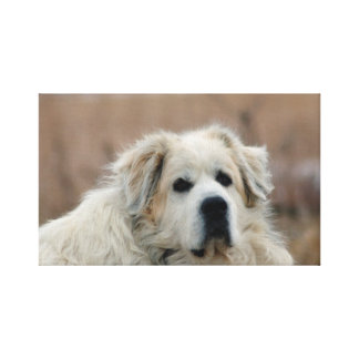 Great Pyrenees Canvas Stretched Canvas Prints