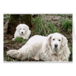 Great Pyrenees Dog and puppy Greeting Card