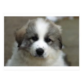 Great Pyrenees Puppy Postcard
