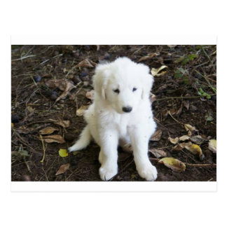 Great Pyrenees Puppy Rose Postcard