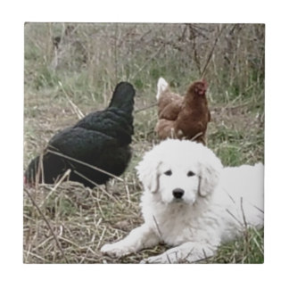 Great Pyrenees puppy with free range chickens Ceramic Tile