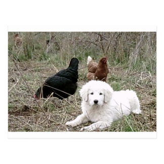 Great Pyrenees puppy with free range chickens Postcard