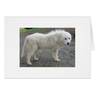 Great Pyrenees Rex, A Gentle Giant Card