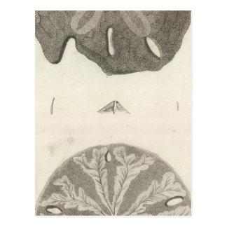 Great Sea Urchins Postcard