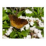 Great Spangled Fritillary on Mountain Laurel Photo Postcard