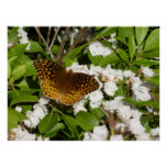 Great Spangled Fritillary on Mountain Laurel Photo Poster
