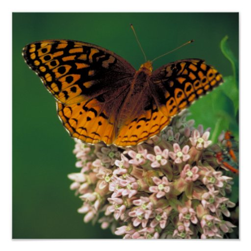 Great Spangled Fritillary Posters