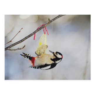 Great Spotted Woodpecker (Dendrocopos major), Postcard