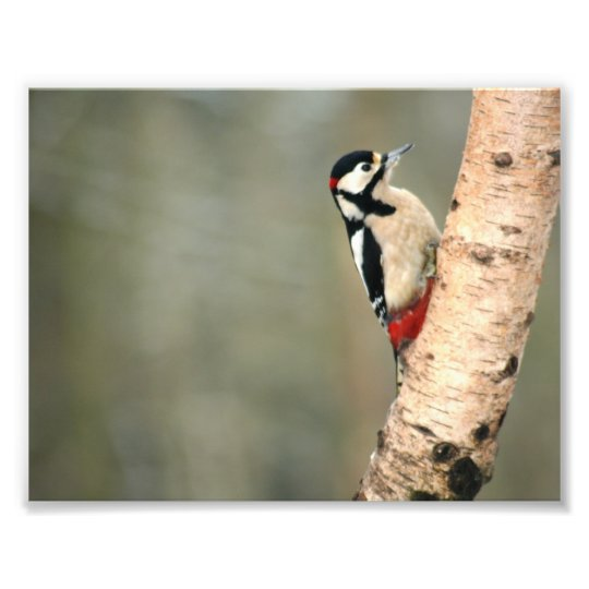 Great Spotted Woodpecker on a Silver Birch Photo Print