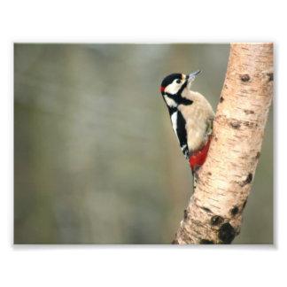 Great Spotted Woodpecker on a Silver Birch Art Photo