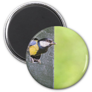 Great tit parent in hole of nest box 2 inch round magnet