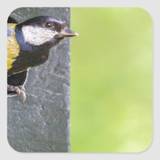 Great tit parent in hole of nest box square sticker