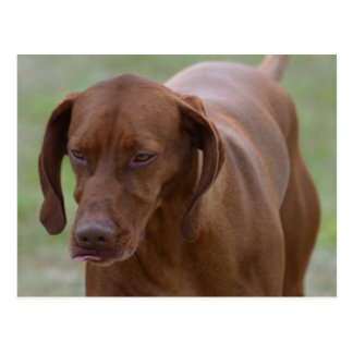 Great Vizsla Dog Postcard