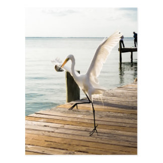 Great White Egret Heron Gracefully Snacks Postcard
