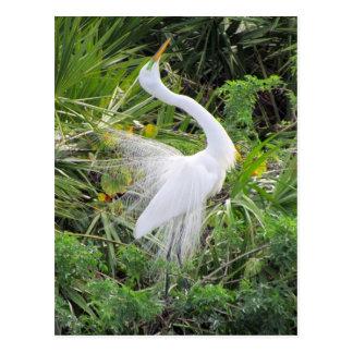 Great White Egret Love Dance Post Cards