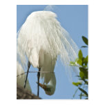 Great White Heron Bottoms Up Postcards