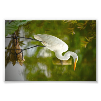 Great White Heron on a Log Photograph