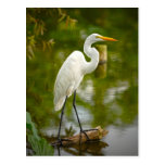 Great White Heron on a Log Photograph Postcard