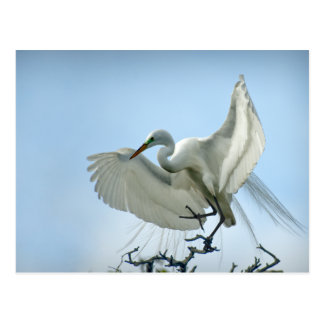 Great White Heron Photograph Postcard