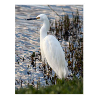 Great White Heron Postcard